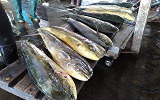 鬼头刀鱼盛产 第一鲔预估4月中旬报到