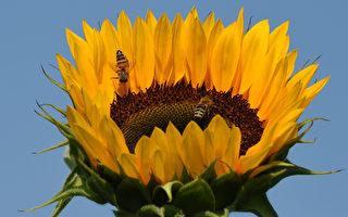 罕见照片:两只蜜蜂依偎在花朵里睡觉