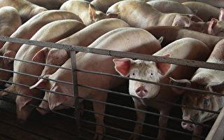 海峡两岸 养猪业的鲜明对比