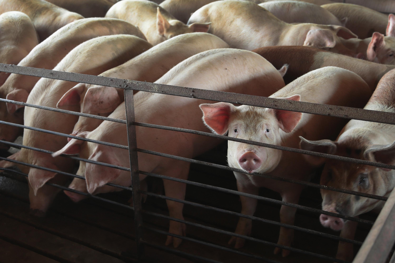 中美談判進入最後關鍵時刻,傳北京有意承諾解除對美國豬肉及家禽的禁令,除了向美方示好,同時也解決大陸豬肉供應缺口問題。(Scott Olson/Getty Images)