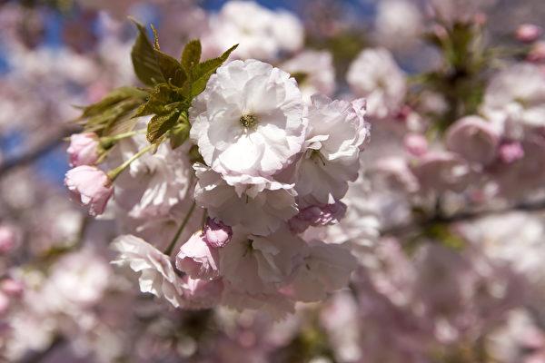 粉红色樱花与蓝色粉蝶花争艳 日本公园超美