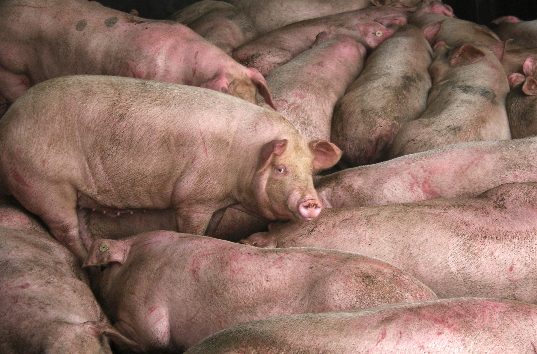 傳北韓也出現非洲豬瘟 死了很多豬