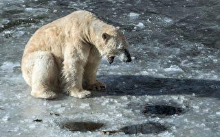 北极熊坐浮冰南行700公里 俄直升机送它回家