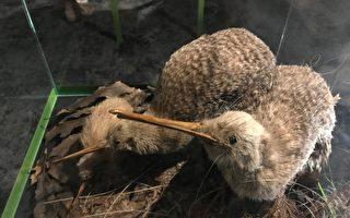 為什麼Kiwi鳥不能飛?研究人員揭示原因