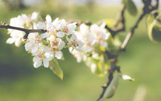 詩歌:梨花園