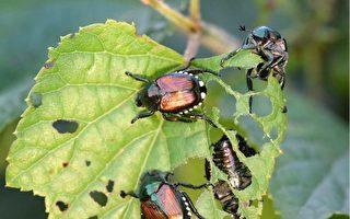 在未來數周中,溫哥華公園局將在溫哥華公園的草坪上噴灑一個殺蟲劑,以捕殺日本金龜子(也稱甲殼蟲)。(Fotolia)