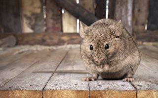 东约克老鼠成灾 居民呼吁市府灭鼠