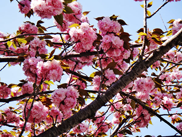 日本東京淺草複瓣櫻花。(藍海/大紀元)