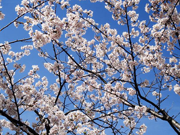 日本金澤兼六園櫻花。(藍海/大紀元)