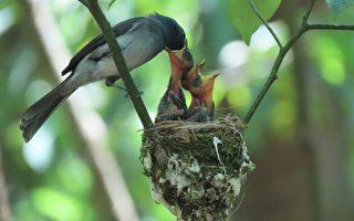组图:母亲节将至 黑枕蓝鹟育雏见母爱温馨