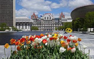 組圖:紐約州府鬱金香節繽紛燦爛