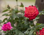 如夢令.玫瑰谷
