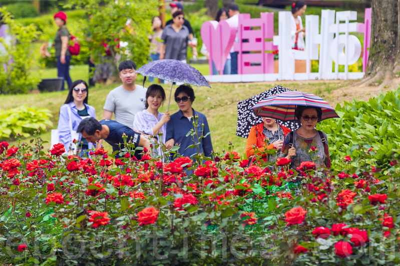 首爾大公園玫瑰盛開 成賞花人氣景點