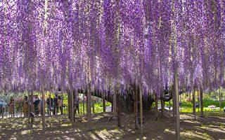世界级梦幻景色再现 日本大紫藤花盛开