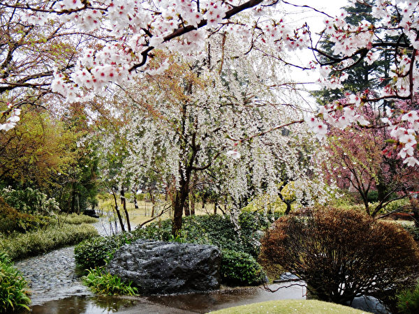 日本富山城址公園落櫻繽紛。(藍海/大紀元)