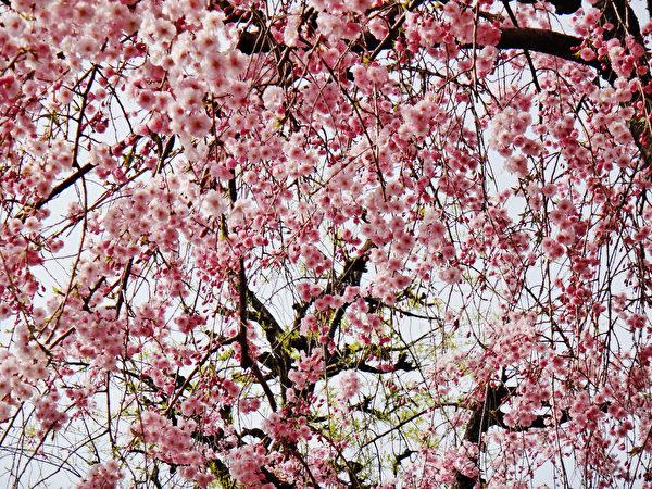 日本金澤城內的櫻花。(藍海/大紀元)