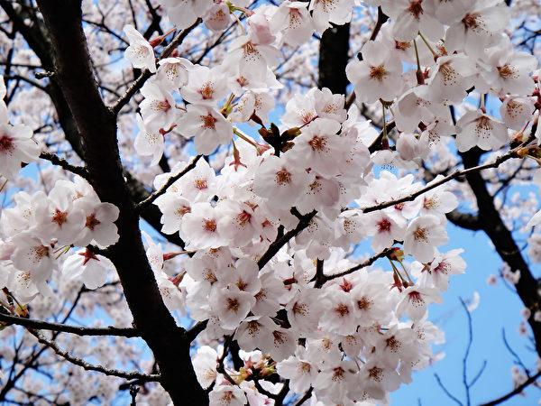 日本金澤兼六園純白色櫻花在藍天白雲下綻放。(藍海/大紀元)