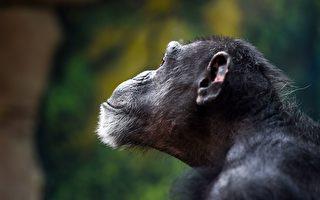 黑猩猩滑手机短片爆红 专家:大事不妙