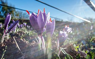 澳洲藏红花种植者:紫花变黄金