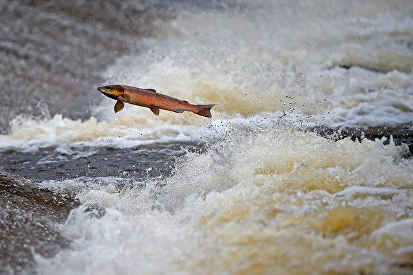 2014年10月27日,苏格兰塞尔柯克的Etterick河上跃起的三文鱼。 (Jeff J Mitchell/Getty Images)