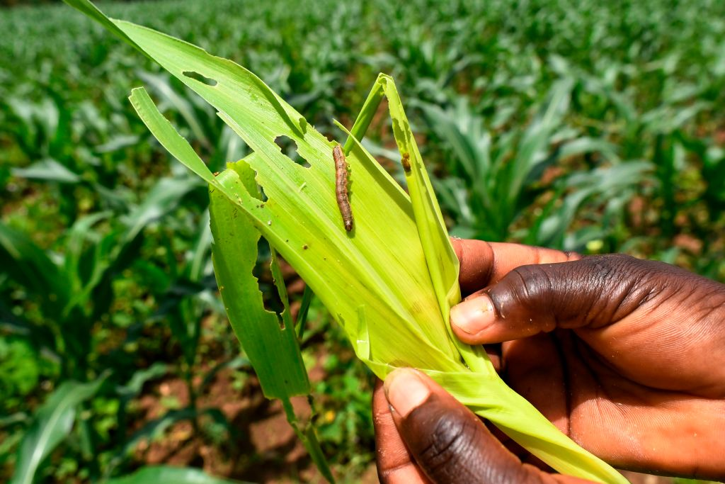 「糧食殺手」蔓延大陸14省 威脅粟米產區