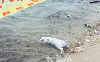 屏小琉球海岸發現豬屍 非洲豬瘟防疫不能停