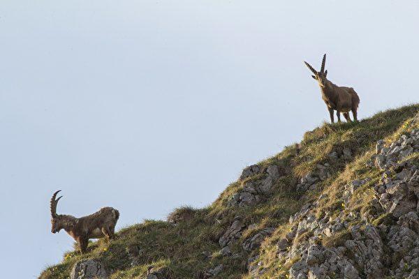 天生攀岩好手 羱羊在峭壁上行動自如