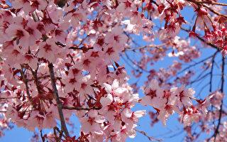 日本长野上田城的樱花。(蓝海/大纪元)