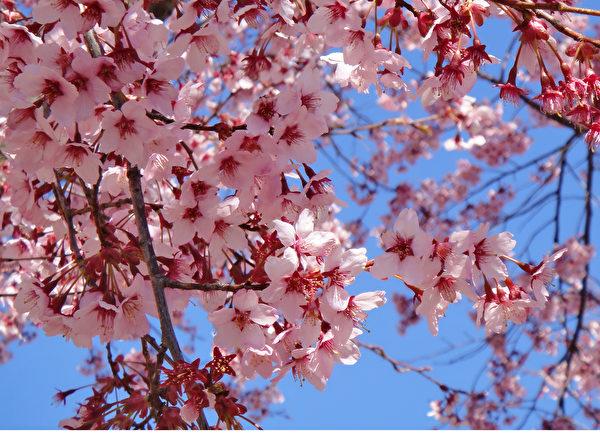 日本長野上田城的櫻花。(藍海/大紀元)