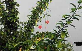贬入凡间的仙子 吊灯花的传说