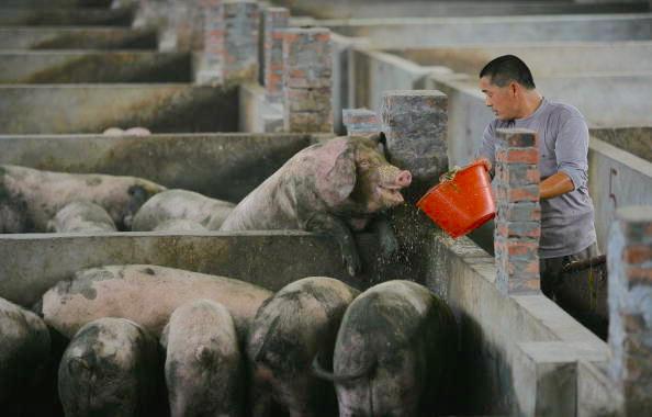 荷蘭合作銀行估算,2019年,中國豬的數量可能因為非瘟疾病和撲殺措施減少三分之一 。圖為中國豬場工人餵養豬隻。(China Photos/Getty Images)
