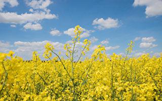 加國世貿代表要求中共提供油菜籽污染證據