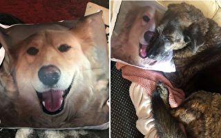 希望史宾塞可以从洛基的抱枕和家人的爱护中得到失去弟弟的安慰!(Courtesy of Beth Fisher)