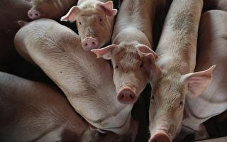 报复?中共取消1.47万吨美国猪肉订单