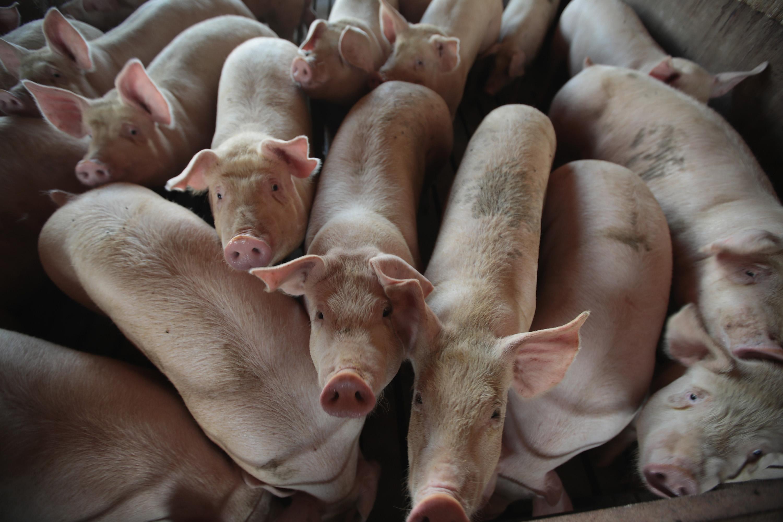 報復?中共取消1.47萬噸美國豬肉訂單