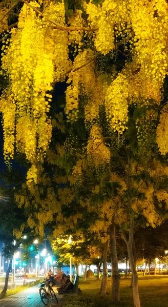 「黃金雨」阿勃勒盛開好美 攝影師推薦3秘徑