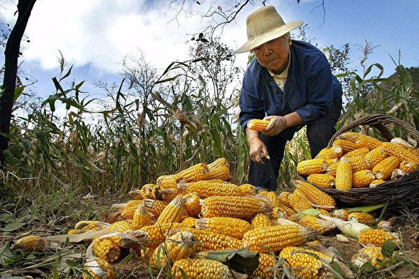 大陸玉米告急 缺口創新高 庫存10年最低
