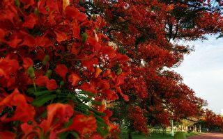 「火樹」鳳凰木盛開好絢麗 攝影師推薦2秘徑