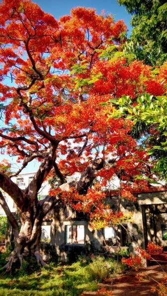 """""""火树""""凤凰木盛开好绚丽 摄影师推荐2秘径"""