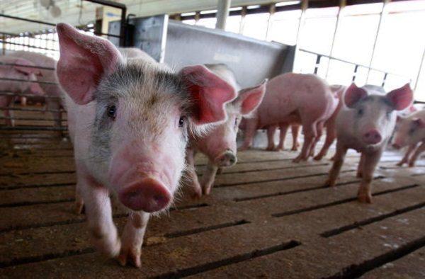 豬瘟肆虐 大陸母豬死亡量恐達官方數字兩倍