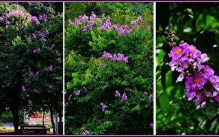 【無魚坊的攝影心視界】紫薇花大就是美