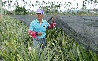 台灣最大產區 名間鳳梨即將盛產
