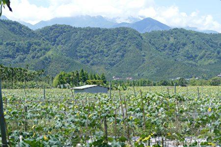 日月潭頭社活盆地為全國最高海拔絲瓜生產專區,共有5個絲瓜產銷班,種植面積約50公頃,夏季產量佔全國5成。