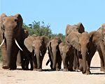 象群爲小象送葬視頻熱傳 動物王國的最後道別