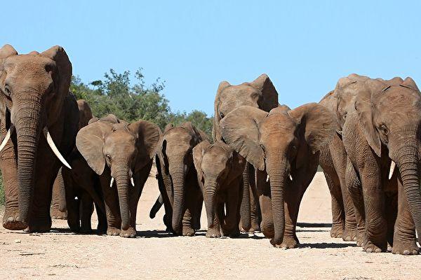 哀傷送別同伴的象群。示意圖。(shutterstock)