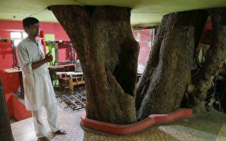坚持不砍树 印度家庭围着百年菩提树盖房子