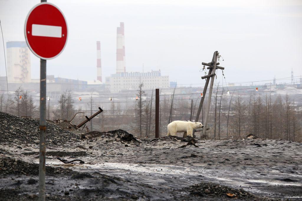 北極熊漫遊在生鏽的廢料場。(Irina Yarinskaya/AFP/Getty Images)