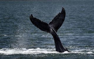 商业捕鲸30年后在日本重新开始