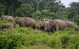 印度象群为死去的小象举行葬礼 场面感人