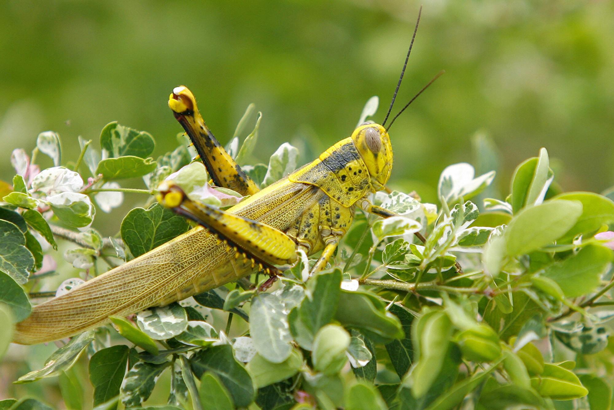 蝗蟲侵襲地中海第二大島 災情70年來最嚴重